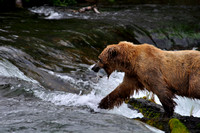 Bear Taking Fish to the Woods