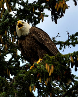 Bald Eagle, Seward, Alaska