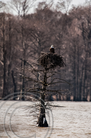 Bald Eagle on Osprey Nest-Reelfoot SP-Tennessee