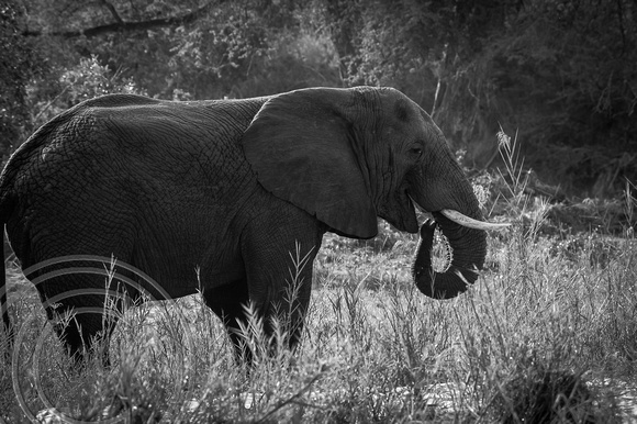 Elephant B&W Right side