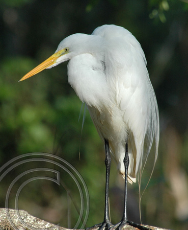White Egret-Corkscrew Swamp, Naples, Fla