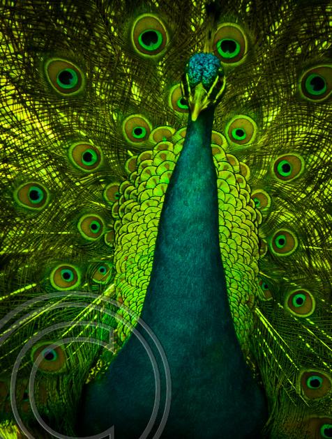 Peacock Magnolia Gardens