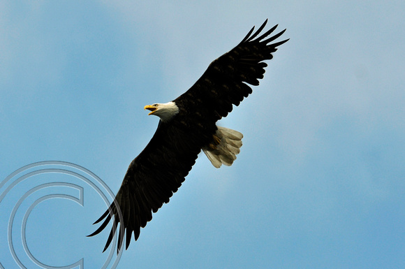 Bald Eagle-Seward, Alaska